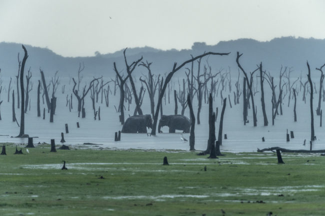Minneriya National Park, elefanti sotto un acquazzone
